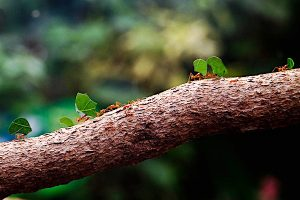 """""""Leafcutter Ants"""" by Neil B is licensed under CC BY-NC-SA 2.0."""