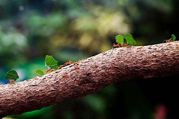 """Leafcutter Ants"" by Neil B is licensed under CC BY-NC-SA 2.0."